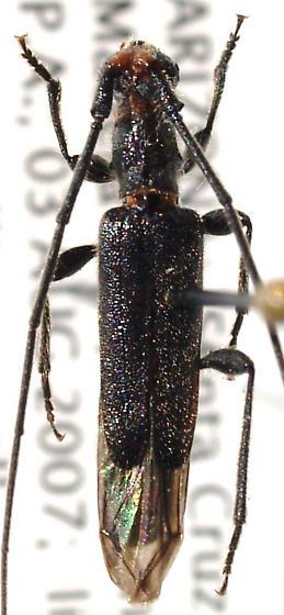 Cerambycid  - Styloxus bicolor