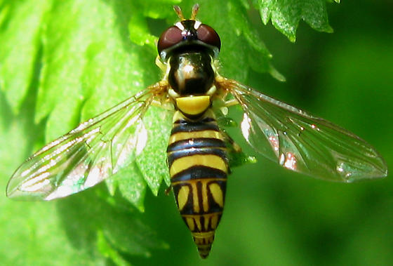 Syrphid Fly - Allograpta obliqua - female