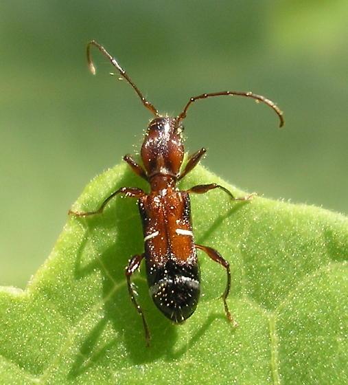 Unknown Beetle - Euderces pini