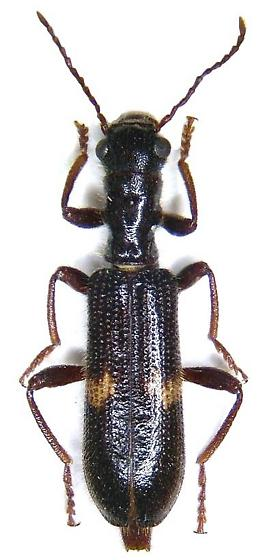 Cleridae Cymatodera sp. Could you help me for the species? I write from Italy. - Cymatodera dietrichi