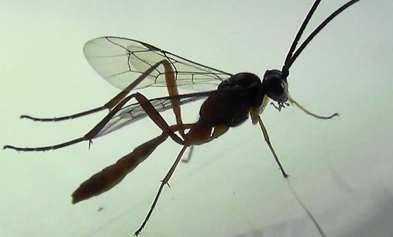 Half-orange Ichneumon Wasp (wing pattern) - Mesostenus gracilis - male