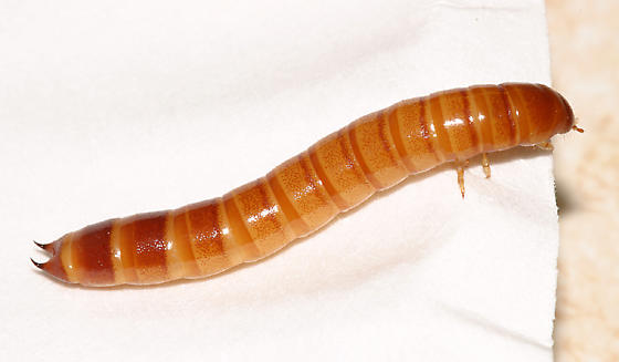 Tenebrionid from larva to adult - Centronopus calcaratus