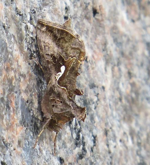 possibly cabbage looper moth, Trichoplusia ni? - Autographa precationis