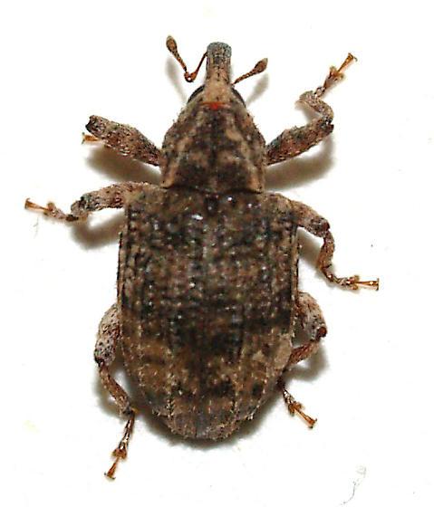 Contrachelus seniculus - Conotrachelus seniculus