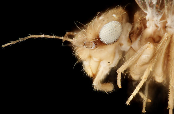 Winged louse, head lateral - Rhyopsocus