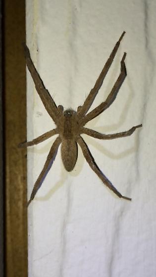 Tan spider  - Pisaurina mira