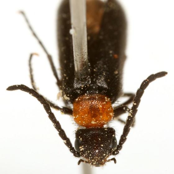 Nemognatha nemorensis Hentz - Nemognatha nemorensis