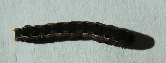 Small Caterpillar