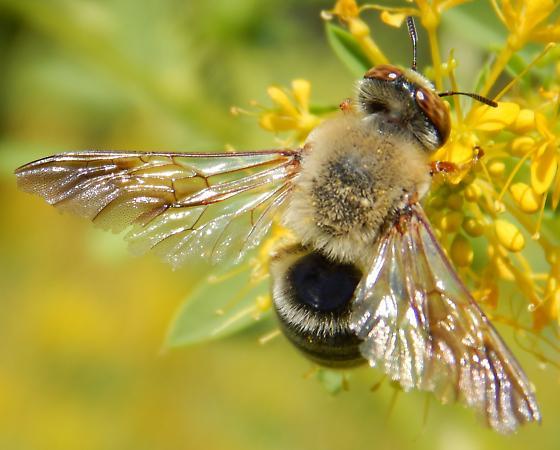 Bee - Protoxaea gloriosa - male