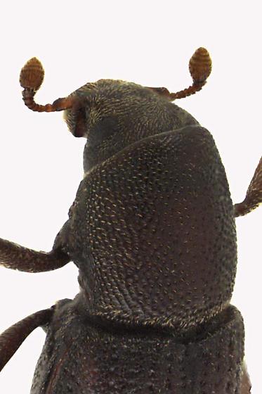 Snout and Bark Beetle - Hylastes porculus