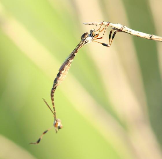 Asilids - Leptogaster - male - female