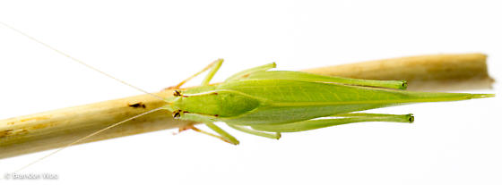 Montezumina modesta - male
