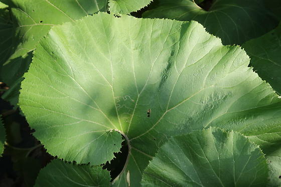 Giant leaf with a mine - Phyllocnistis insignis