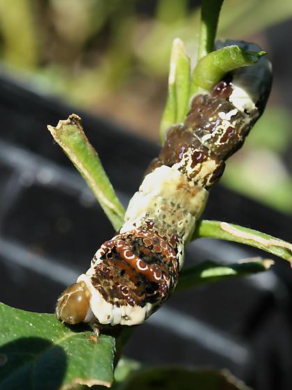 giant swallowtail caterpillar - papilio cresphontes - Papilio cresphontes