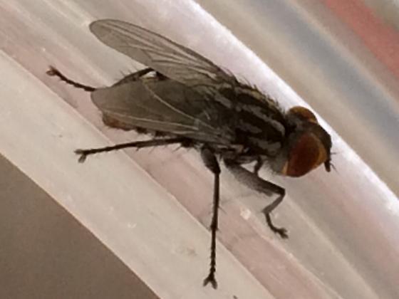 Fly - Macronychia aurata