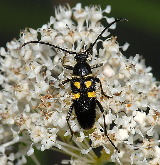 Flower Longhorn? - Typocerus lunulatus