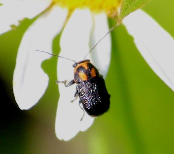 This might be Pachybrachis trinotatus; please confirm. - Pachybrachis trinotatus