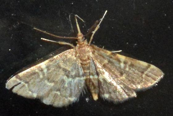 Yellow-spotted Webworm - Anageshna primordialis