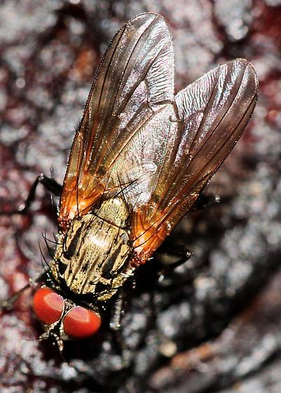 Root-Maggot Flies Hydrophoria lancifer Male - Hydrophoria lancifer