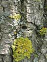 Agrilus planipennis, exit hole - Agrilus planipennis