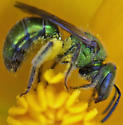 Green bee - Augochlorella