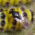 Elachertus harrisinae
