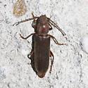 Unknown Beetle - Megasemum asperum