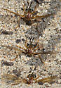 Nemomydas pantherinus? - Nemomydas pantherinus - female