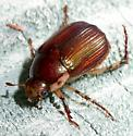 Beetle - Callistethus marginatus