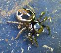 Twinflagged Jumping Spider? - Anasaitis canosa