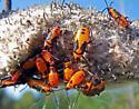 Large Milkweed Bug - Oncopeltus fasciatus