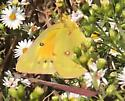 some typa butterfly or moth - Colias eurytheme - female