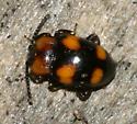 Fungus Beetle? - Mycetina perpulchra