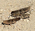 Carolina Grasshopper - Dissosteira carolina