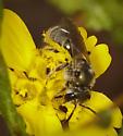 Perhaps Osmiini? - Halictus tripartitus - female