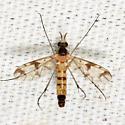 Keroplatidae? - Proceroplatus elegans - male