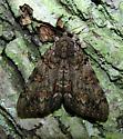 Catocala paleogama - Hodges #8795 - Catocala palaeogama