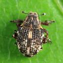 weevil - Rhinoncus castor