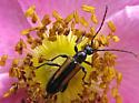 Flower Longhorn Beetle  - Strangalepta abbreviata