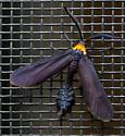 What type of moth? - Harrisina americana