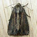 Chang Borer Moth (Xylomoia chagnoni)  - Xylomoia chagnoni