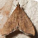 Moth to blacklight - Sericoplaga externalis