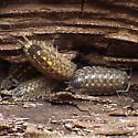 Porcellionidae: Porcellio spinicornis - Porcellio spinicornis