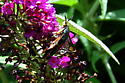 wasp mimic moth? - Melittia cucurbitae