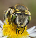Leaf-cutter Bee - Anthidium