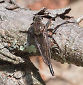 Big robber fly - Proctacanthus