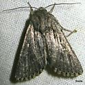 silvery light- & dark-grey Moth with subtle patterning, including a small rectangular light-colored spot not far from mid-costa - Pseudohadena vulnerea