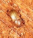 Unknown beetle - Dioedus punctatus