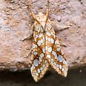 Moth - Lophocampa caryae