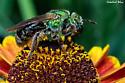 Bicolored Agapostemon Sweat Bee?  - Agapostemon virescens - female